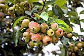 MALUS EVERESTE