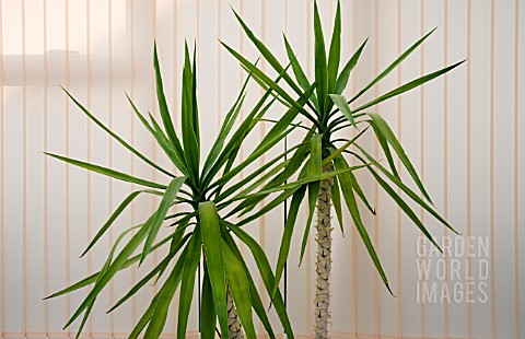 YUCCA__ELEPHANTIPES_IN_A_POT_GROWING_IN_A_CONSERVATORY