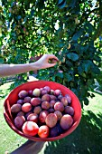 PICKING VICTORIA PLUMS FROM THE TREE