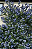 CEANOTHUS ARBOREUS TREWITHEN BLUE,  GROWING UP THE FRONT OF THE HOUSE AT RHS GARDEN,  HYDE HALL