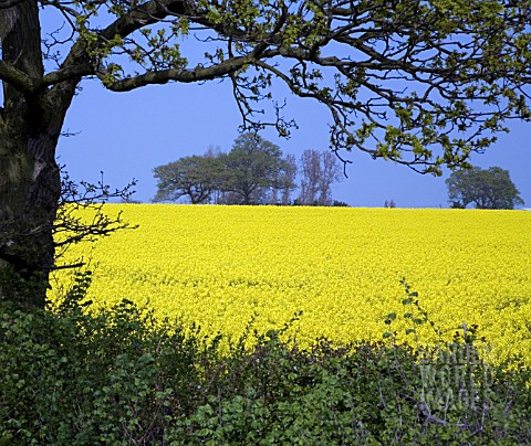 A_FIELD_OF_BRILLIANT_YELLOW_RAPESEED__BRASSICA_NAPUS