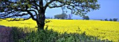 PANORAMIC VIEW OF A FIELD OF YELLOW RAPESEED, BRASSICA NAPUS, OFTEN USED FOR ANIMAL FEED, VEGETABLE OIL FOR HUMAN CONSUMPTION AND BIODIESEL.