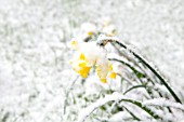 NARCISSUS, DAFFODIL COVERED IN SNOW IN THE SPRING.