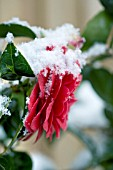 CAMELLIA HYBRID, BLACK LACE, IN  SPRING COVERED IN SNOW