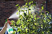 SPRAYING A PEAR TREE, LEAVES THAT ARE INFECTED WITH APHIDS.