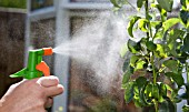 SPRAYING A PEAR TREE, LEAVES THAT ARE INFECTED WITH APHIDS