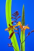 CROCOSMIA JACKANAPES, (CROCOSMIA FIRE KING)