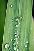 CLOSE UP OF RAIN DROPS ON LEAVES OF CROCOSMIA, JACKANAPES.