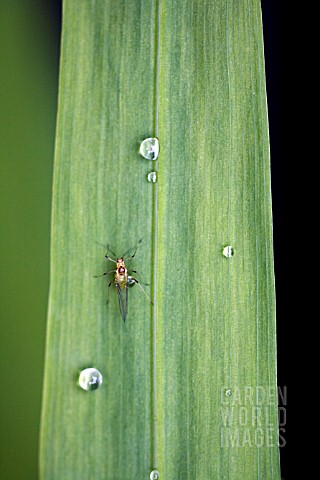APHID_ON_LEAVES_OF_THE_CROCOSMIA_JACKANAPES_