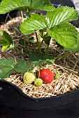 STRAWBERRY CAMBRIDGE FAVOURITE  RIPENING FRUIT, PROTECTED BY A BEDDING OF STRAW.