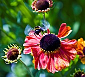 HELENIUM SAHINS EARLY FLOWERER  WITH BEE