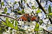 PRUNUS DOMESTICA,  VICTORIA PLUM TREE BLOSSOM AND A PEACOCK BUTTERFLY,  INACHIS IO DRINKING NECTAR