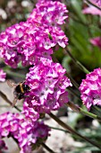 BUMBLE BEE ON ARMERIA MARITIMA SPENDENS