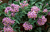 SOLANUM CRISPUM,  GLASNEVIN,  CHILEAN POTATO TREE,   FLOWERS AND FOLIAGE