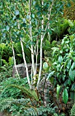 BETULA UTILIS VAR. JAQUEMONTII WITH FERNS AT RHS ROSEMOOR IN JUNE.