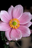 ANEMONE HYBRIDA, JAPONICA, KONIGIN CHARLOTTE, QUEEN CHARLOTTE,  PINK, FLOWER, CLOSE UP, LATE SUMMER, AUTUMN