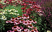 ECHINACEA PURPUREA,  (SYN. RUDBECKIA ECHINACEA VAR. PURPUREA),   CONEFLOWER,  GREENEDGE & RUBINGLOW IN BORDER