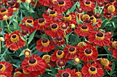 HELENIUM,  RUBINZWERGN,  TAKEN IN AUGUST