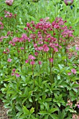 ASTRANTIA MAJOR RUBY WEDDING,  ASTRANTIA MAJOR,  ASTRANTIA