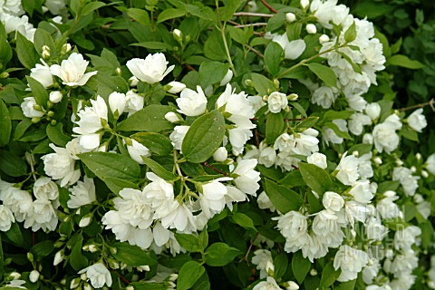 Tc4209 philadelphus manteau d hermine asset details garden world images - Philadelphus manteau d hermine ...