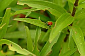 LILY BEETLE,  ON LILY LEAF,