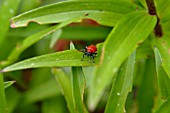 LILY BEETLE,  ON LILY LEAF,  CLOSE UP
