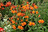 ALSTROEMERIA ORANGE GLORY (PERUVIAN LILY)