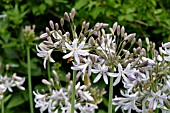 AGAPANTHUS ZELLA THOMAS (AFRICAN LILY)