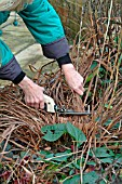 WINTER TIDYING,  REMOVING DEAD FOLIAGE FROM IRIS SIBIRICA OTTAWA