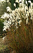 SEEDHEADS OF MISCANTHUS SINENSIS,  WAKEHURST PLACE,  JANUARY