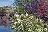 WAKEHURST PLACE (WEST SUSSEX) EXOCHORDA MACRANTHA THE BRIDE AND RIBES SANGUINEUM