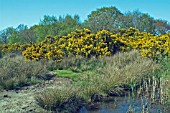 ULEX EUROPAEUS AT HICKLING BROAD NATIONAL NATURE RESERVE (NORFOLK)