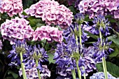 AGAPANTHUS BRESSINGHAM BLUE BACKED BY HYDRANGEA MACROPHYLLA KLUIS SUPERBA