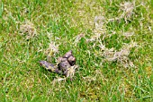 CAT FAECES ON LAWN,  SURREY: MAY