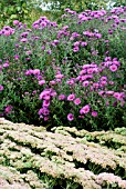 ASTER NOVAE ANGLIAE COLWALL GALAXY WITH SEDUM HERBSTFREUDE