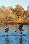COURTING CRANES BY GAIL RUNYON PERRY,  SEVEN ACRES LAKE,  RHS WISLEY: LATE NOVEMBER