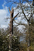 A DISEASED QUERCUS ROBUR WITH A ROOT DISORDER AND AFFECTED BY A WOOD DECAYING FUNGUS LEFT AS STANDING DEAD WOOD HAVING RECEIVED NATURAL FRACTURE PRUNING AND CORONET CUTS (MAGNOLIA DENUDATA IN FOREGROUND),  RHS WISLEY: MARCH