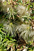 SEEDHEADS OF CLEMATIS NAPAULENSIS,  RHS WISLEY: MARCH