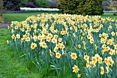 GARDEN SCENE WITH NARCISSUS BORDER BEAUTY,  RHS WISLEY: APRIL