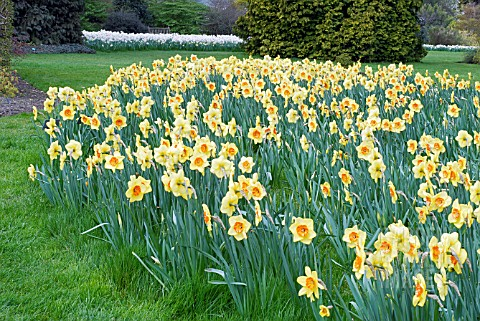 GARDEN_SCENE_WITH_NARCISSUS_BORDER_BEAUTY__RHS_WISLEY_APRIL