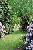 GRASS PATH WITH,  AT LEFT,  RHODODENDRON SCINTILLATION AND,  AT RIGHT,  R. BLUE ENSIGN AND BETULA UTILIS VAR. JACQUEMONTII AND,  AT END OF PATH,  R. JANCIO,  RHS WISLEY: MAY