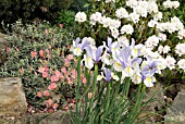 IRIS SILVER BEAUTY WITH HELIANTHEMUM WISLEY PINK AND RHODODENDRON SCHNEEKRONE,  MAY