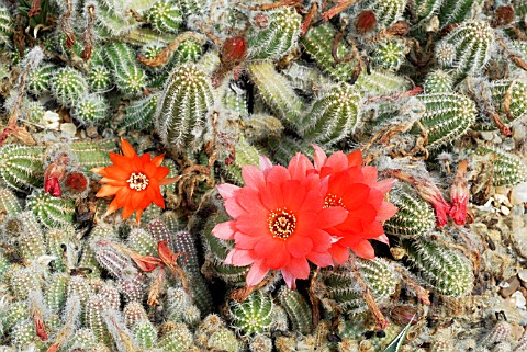 ECHINOPSIS_CHAMAECEREUS_FIRE_CHIEF__HOLLY_GATE_CACTUS_GARDEN__ASHINGTON__WEST_SUSSEX_MAY