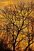 WINTER SUNRISE AGAINST BRANCHES OF ASH (FRAXINUS EXCELSIOR), DECEMBER