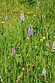 ORCHIDS (DACTYLORHIZA FUCHSII) IN GRASSLAND WITH BUTTERCUPS (RANUNCULUS SP.), JUNE