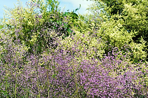 Tc7230 thalictrum delavayi 39 hewitt 39 s double 39 again for Thalictrum rochebrunianum rhs