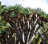 DRAGON TREES (DRACAENA DRACO)