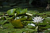 NYMPHAEA ALBA, WATER LILY