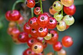 RIBES RUBRUM, RED CURRANT