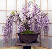 WISTERIA FLORIBUNDA, FLOWERING BONSAI